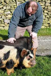 Two Kunekune breeding sows